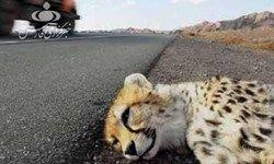 یوزپلنگ کشته شده