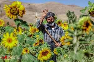 مزارع آفتابگردان - کردستان