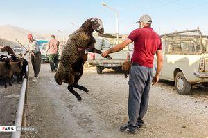 عکس/ بازار دامفروشان در آستانه عید قربان