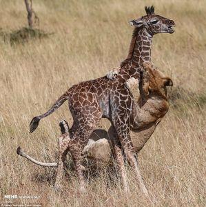 حمله شیرها به زرافه