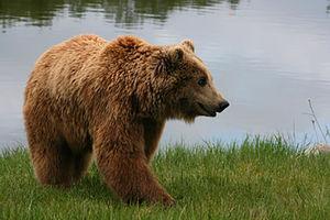 فیلم/ حضور یک خرس در لابی هتل!