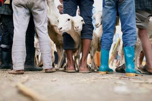 گوسفندان قربانی در عید قربان، صنعا
