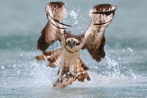 لحظه دیدنی از شکار عقاب