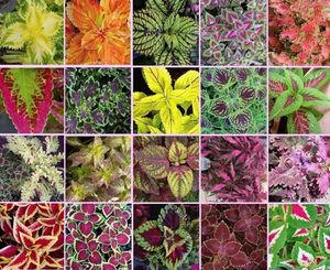 گیاهان نمایه