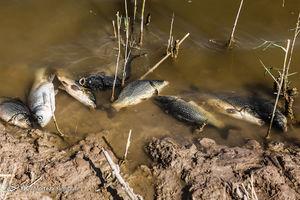 عکس/ مرگ ماهیان در خرمشهر