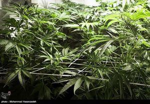 کاشت ماریجوانای خانگی توسط مهندس کشاورزی جوان در نیاوران,