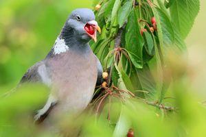 تصاویر دیدنی از گیلاس خوری کبوتر