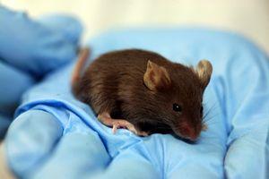 تزریق آنتی بادی موش به ترامپ برای درمان کرونا