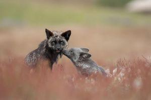 خانواده روباه