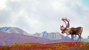 عکس/ گوزن شاخ قرمز