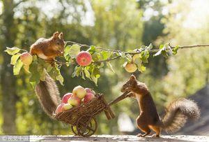 عکس/ برداشت میوه توسط سنجابها