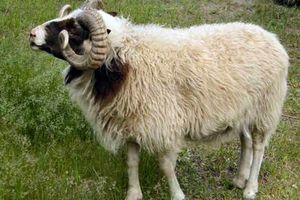 فیلم/ کشتی گوسفندهای رومانیایی به چابهار رسید