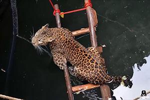 فیلم/ تلاش برای نجات پلنگ از چاه سی متری!