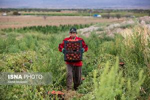 عکس/ برداشت گوجهفرنگی در قزوین