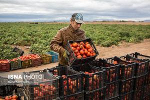 شرط کاهش قیمت گوجه به 3 هزار تومان