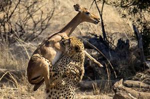 تصویر دیدنی از لحظه شکار یوزپلنگ