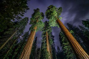 عکس/ درختان غول پیکر