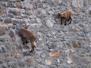 عکس/ مهارت بزها در بالا رفتن از دیوار صاف