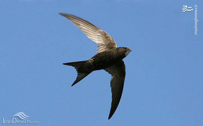 پرنده ابابیل