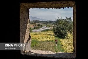 عکس/ برداشت سنتی برنج در الموت