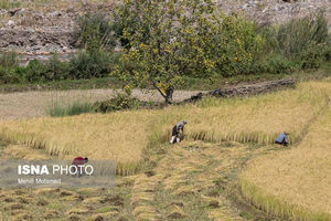 صادرات برنج محلی مازندران به اروپا
