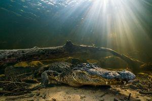کمین تمساح برای شکار