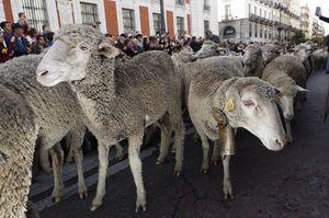 رژه گوسفندان در خیابانهای مادرید