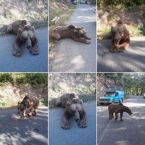 خرس وحشی در جاده اصلی پونل - خلخال