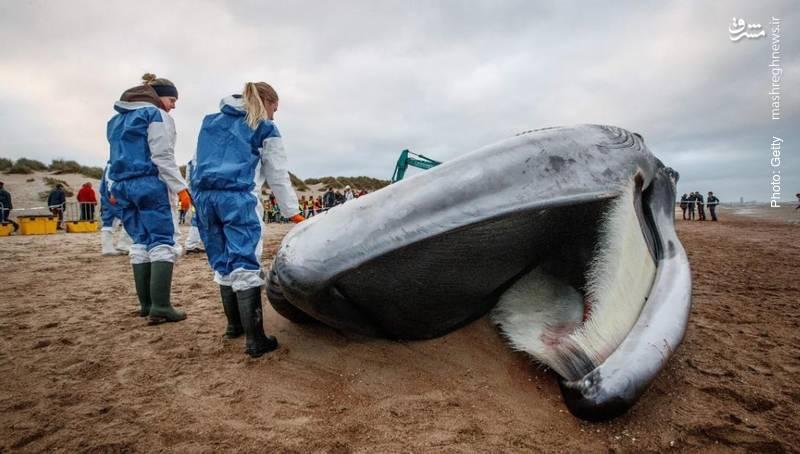 لاشه یک وال در ساحل بلژیک