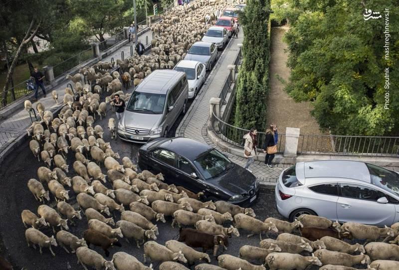 تظاهرات گوسفندها در مادرید طبق یک رسم قدیمی که به صورت سالیانه برگزار می شود.