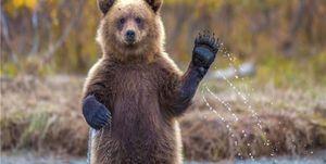 فیلم/ دوستی منحصر به فرد یک خرس با صاحبش!