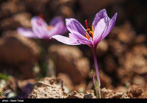 عکس/ برداشت زعفران در فاروج