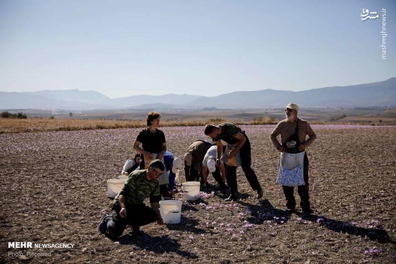 عکس/ برداشت زعفران در یونان