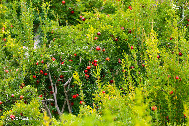 عکس/ برداشت انار از باغات فارس