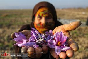 عکس/ برداشت زعفران در مشهد