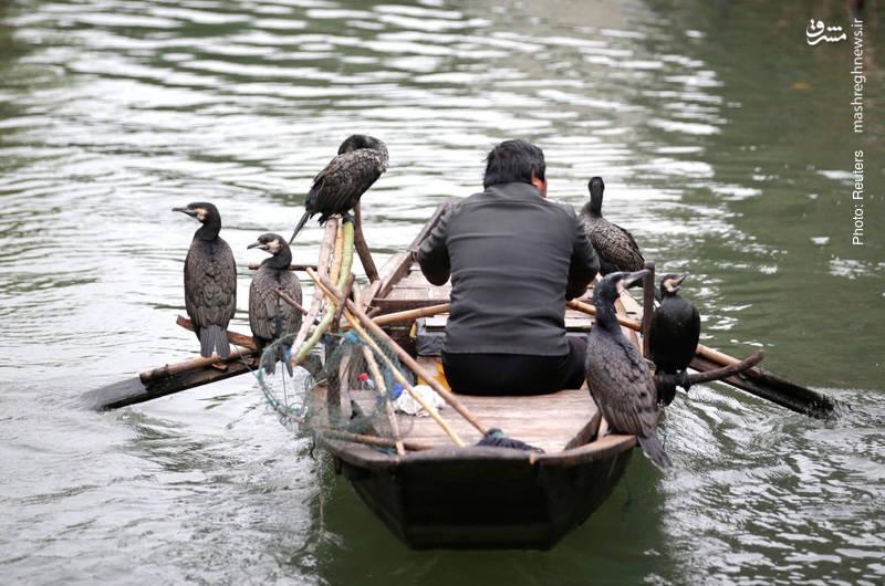 مرد قایقران در ژجیانگ چین که پرندهها دوستش دارند.