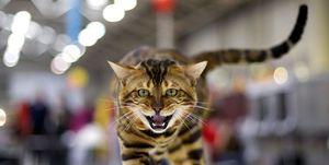 «فشنشو گربهها» در پایتخت با مجوزهای دروغین +عکس