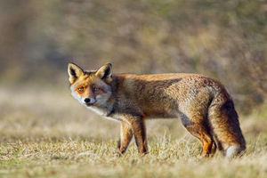 فیلم/ شکست جالب روباه در شکار!