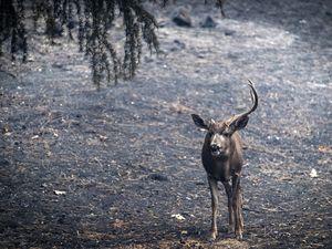 عکس/ گرفتار شدن حیوانات در میان شعلههای آتش