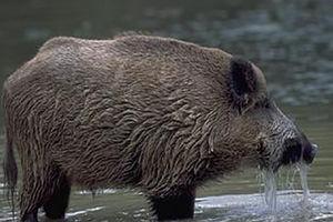 فیلم/ حمله گراز وحشی به یک پیرمرد روستایی!