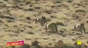 فیلم/ مشاهده سه قلاده پلنگ ایرانی در سمنان
