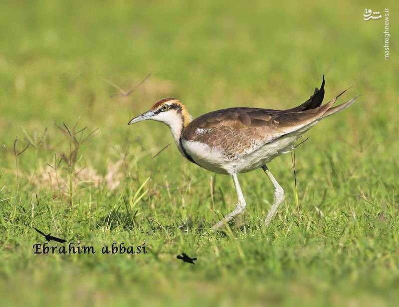 Pheasant tailed plover