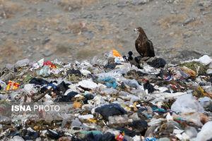 عکس/ عقابهای زبالهگرد در همدان