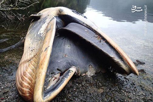 فیلم/ خارج کردن 6 کیلوگرم پلاستیک از جسد  نهنگ!