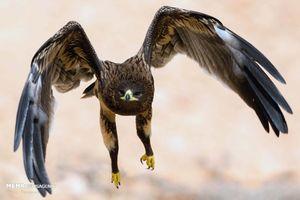 فیلم/ نبرد دیدنی عقاب و مرغ!