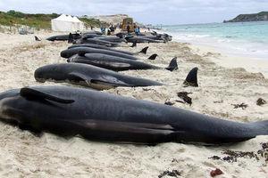 فیلم/ مرگ دهها نهنگ به گِل نشسته