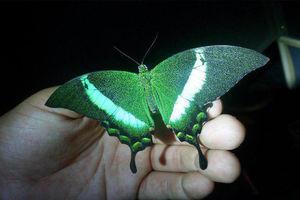 عکس/ زیباترین پروانه جهان!