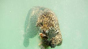 تصویری کمیاب از لحظه شکار جگوار در زیر آب