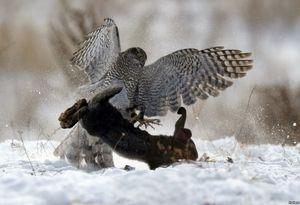 لحظه شکار خرگوش توسط شاهین