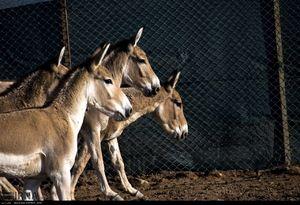 عکس/ گورخرهای جدید در پارک ملی کویر